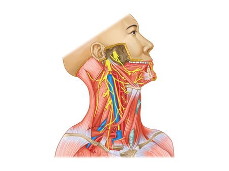 Zenuw en accessoire zenuwdiagram