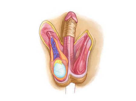 Pene, testículo, genitales masculinos Foto de archivo