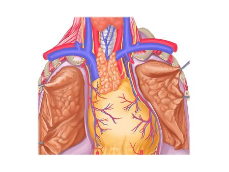 胸腺 写真素材