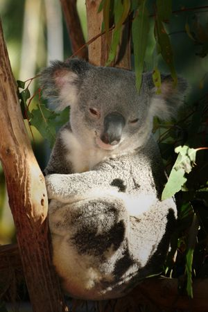 Smiling cute koala Stock Photo