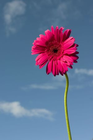 conscious: Red Gerbera against summer blue sky Stock Photo
