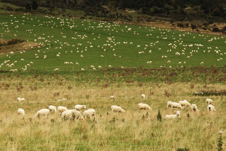 Valley of grass with lambs in New Zealand photo