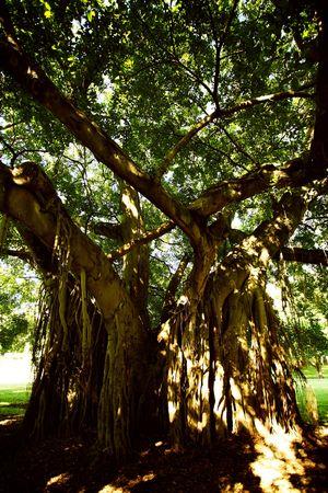 daunting: Creepy and mysterious tree at brisbane park, australia