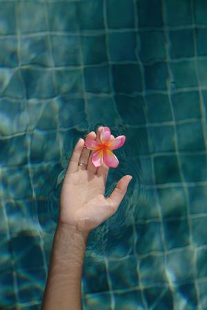 Womans hand holds a frangipani flower over a swimming pool photo