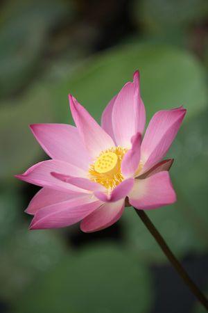 Close up shot of pink lotus.   photo