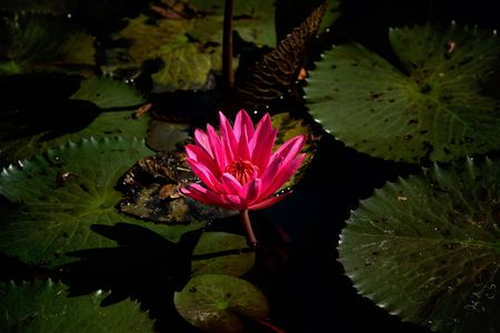 Beautiful Lotus in a lagoon photo