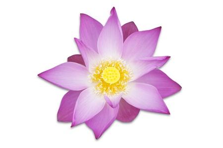 白地にピンクの蓮の花 写真素材