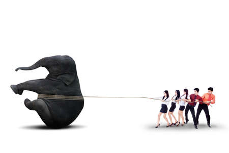 Business team people is pulling an elephant together on white background photo