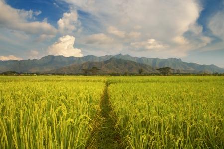 jogjakarta: Beautiful rice field landscape in Indonesia
