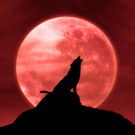 in midnight: Halloween background with wolf howling at the moon in the midnight