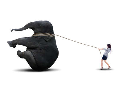Asian business manager is pulling big elephant on white background photo