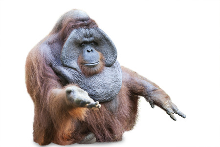 Orang utan sitting on white background Stock Photo