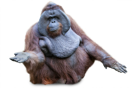Orang utan sitting on white background Stock Photo