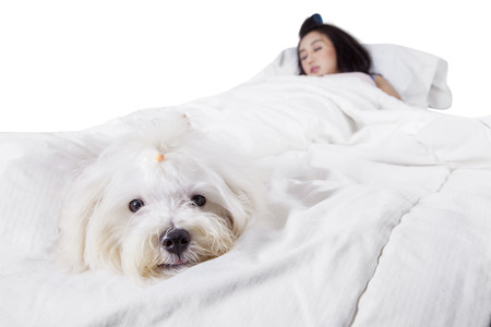 maltese dog: Maltese dog sleeping on the bed while accompanying his owner, isolated on white background Stock Photo