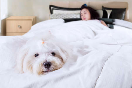 purebred dog: Cute maltese dog accompanies his owner sleeping in the bedroom, shot at home