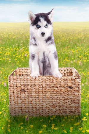 perros graciosos: Retrato de un pequeño perro esquimal siberiano que se coloca dentro de la cesta de madera en el prado