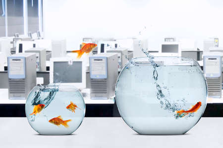 goldfish jump: Picture of goldfish moving to larger fishbowl on the table, shot in office