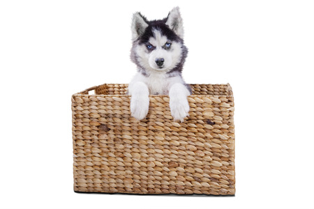 wooden basket: Picture of a cute husky puppy lying in wooden basket while looking at the camera in the studio, isolated on white background