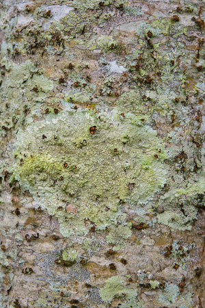 Closeup of green fungus attached to the cracked bark of old wood
