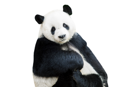 Adorable giant panda facing camera isolated over white Banque d'images