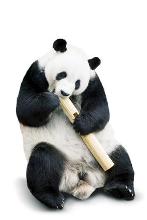 isolated giant panda eating bamboo over white background Stockfoto