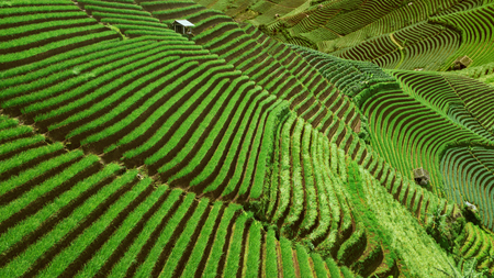 Beautiful rice terraced fields landscape view in Indonesia Stock Photo