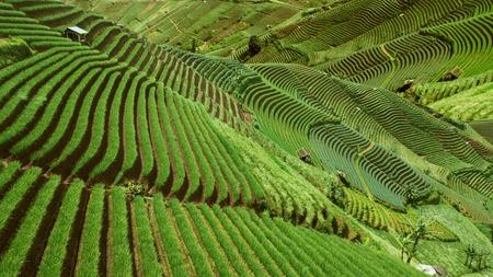 Beautiful rice terraced fields scenery in Indonesia