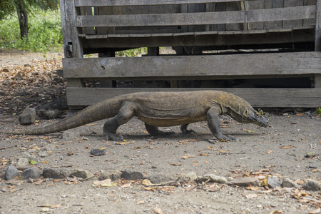 Picture of Komodo dragon with forked tongue in Rinca island, Indonesia