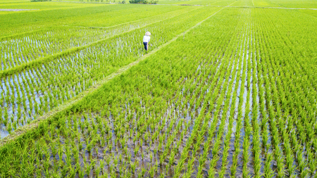 Aerial view of an unidentified farmer works in paddy fields in Yogyakarta, Indonesia Stock Photo