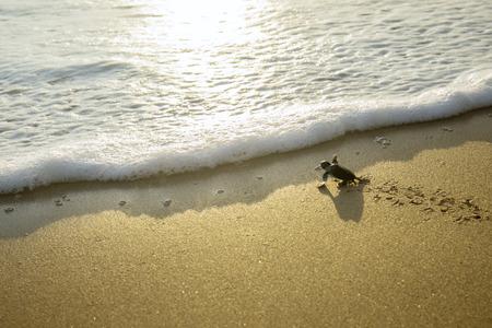 Zdjęcie małych żółwi morskich czołgających się po piaszczystej plaży w kierunku morza na plaży Pangumbahan, Sukabumi, Zachodnia Jawa
