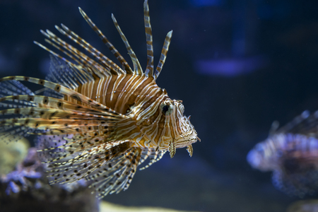 Close up of exotic Lionfish swimming in the aquarium, at Batu Secret Zoo, Malang, Indonesia Stock Photo