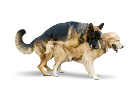Image of Shepherd dog making love with Retriever dog in the studio, isolated on white background