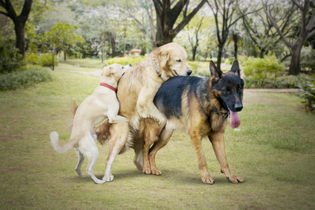 Image of three stray dogs looks funny during mating in the park Archivio Fotografico