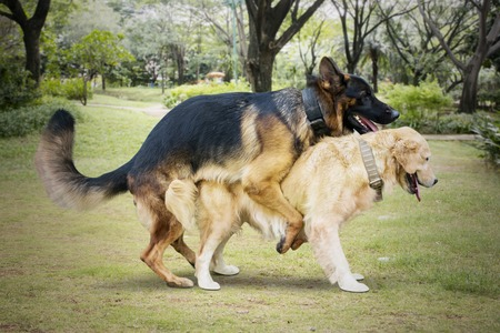 Image of two stray dogs different species mating in the meadow while playing together Stock Photo - 120038645