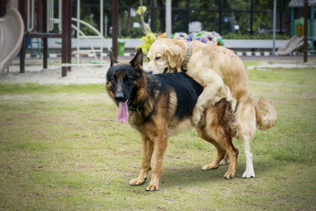 Image of Retriever dog making love with German Shepherd dog in the park