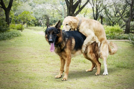 Image of Retriever dog playing with German Shepherd dog while mating in the park