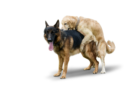 Image of Retriever dog mating with German Shepherd dog in the studio, isolated on white background