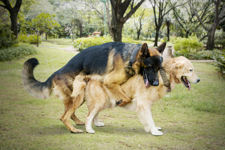 Image of two dogs different species mating in the meadow while playing together Stock Photo - 119886417