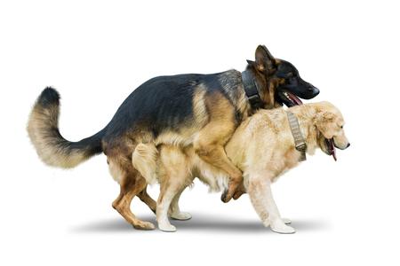 Imagen de dos perros de diferentes especies de apareamiento en el estudio, aislado sobre fondo blanco.