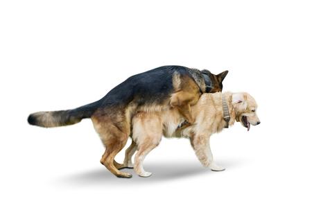 Imagen de apareamiento de perro pastor alemán con perro Retriever en el estudio, aislado sobre fondo blanco. Foto de archivo