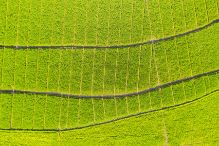 Top view of beautiful terraced farmlands with green paddy plant in Bali, Indonesia Stock Photo