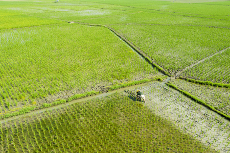 Bali - Indonesia. April 05, 2019: Aerial view of Asian farmer harrowing rice paddy fields in Bali, Indonesia