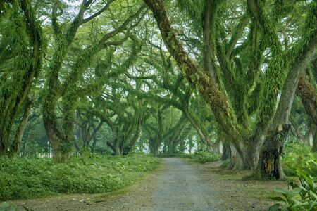Beautiful view of path with green trees in De Djawatan forest at East Java, Indonesia.