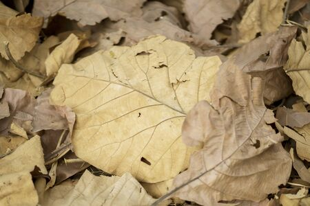 Close up of heaped wilted teak leaf falling on the ground