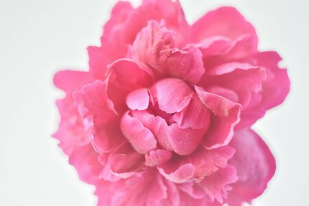 Peony pink color close-up on a white background. Fresh flowers isolate. Selective focus. Copy space. View from above. Horizontal frame.
