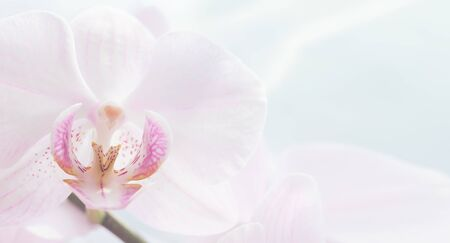 White orchid flower close up. Blur no focus. Horizontal frame. Fresh flowers natural background. Imagens