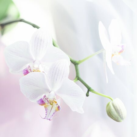White orchid flower close up. Selective focus. Square frame Fresh flowers natural background. Imagens - 128892405