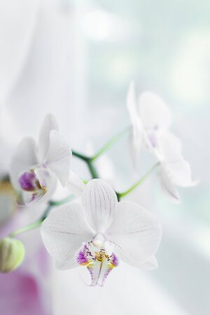 White orchid flower close up. Selective focus. Vertical frame. Fresh flowers natural background. Imagens - 128892410