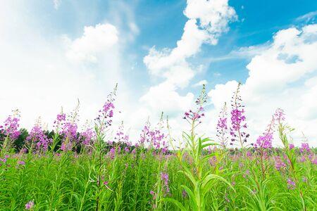 Thé de Chypre ou d'Ivan qui fleurit dans un champ de prairie. Mise au point sélective. Cadre horizontal.