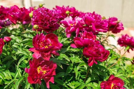 Pink peonies bush in the garden outdoors. Fresh flowers background. Horizontal frame. Imagens - 128892421